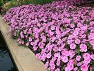 Bounce Pink Flame Impatiens