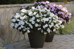 Bounce white impatiens