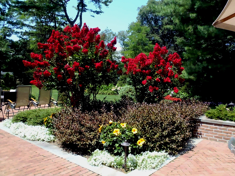 Crape-myrtle-'Red-Rocket'